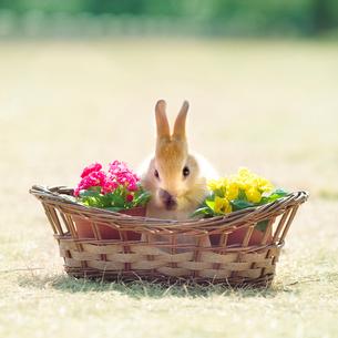 カゴの中で立ち上がって顔を洗うウサギの写真素材 [FYI01417867]