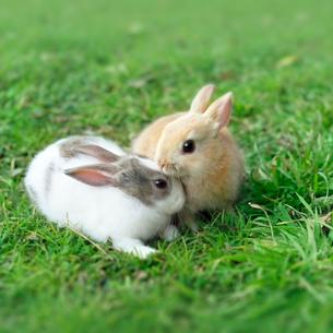 芝生の上で仲良さそうな2羽のウサギの写真素材 [FYI01417926]