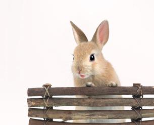 立ち上がって柵に手をつくウサギの写真素材 [FYI01417971]
