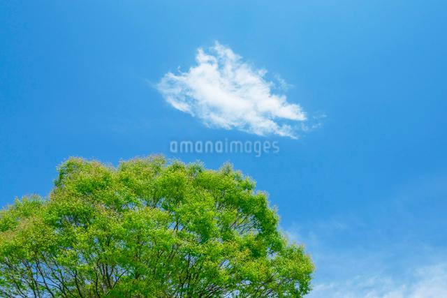 新緑の木と雲ひとつの写真素材 [FYI01418023]