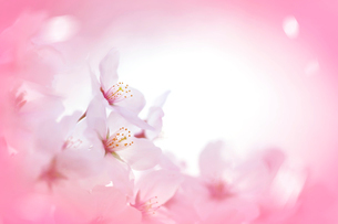 アップの桜とピンクのイメージの写真素材 [FYI01418025]