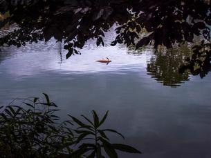 池の中央で横向きに浮かぶ鯉の死骸の写真素材 [FYI01418096]