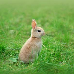 立ち上がって様子をうかがうウサギの写真素材 [FYI01418137]