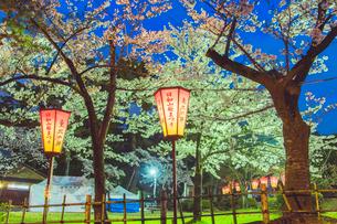 夜桜とぼんぼりの写真素材 [FYI01418191]
