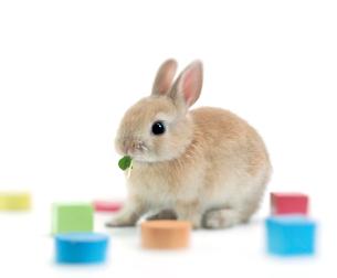 餌を食べるウサギと積み木の写真素材 [FYI01418240]