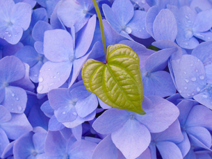 アジサイの花とみどりの葉の写真素材 [FYI01418243]
