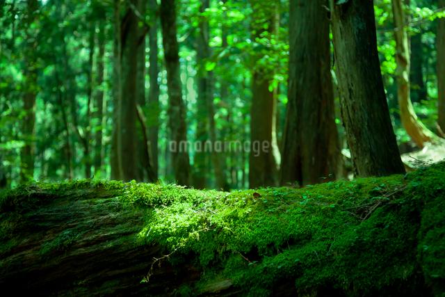 原生林の新緑の写真素材 [FYI01418273]