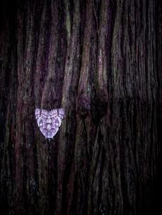 杉の木肌に張り付く蛾の写真素材 [FYI01418399]