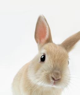 顔をかしげるウサギの写真素材 [FYI01418454]