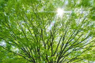 新緑に射す日差しの写真素材 [FYI01418953]