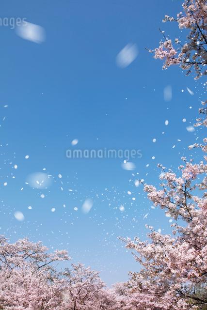 青空と風に舞う桜の写真素材 [FYI01419286]