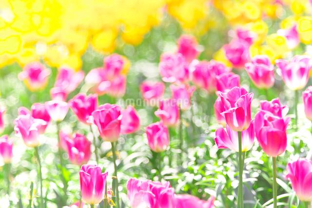 ピンクと黄色のチューリップの写真素材 [FYI01419383]