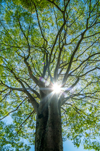 新緑が映える逆光の木の写真素材 [FYI01419385]