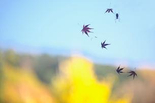 くもの巣にかかったモミジの落ち葉の写真素材 [FYI01419435]