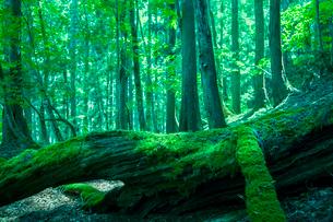 原生林の新緑の写真素材 [FYI01419460]
