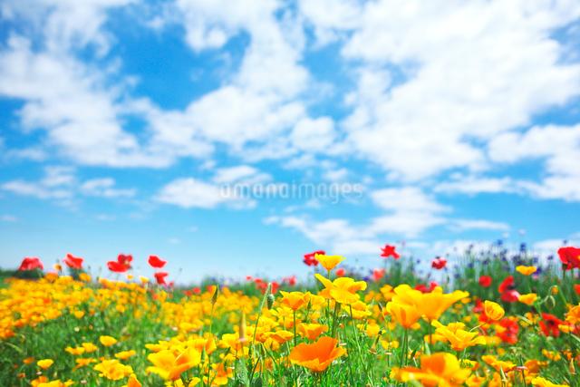 黄色いポピーと青空の写真素材 [FYI01419554]