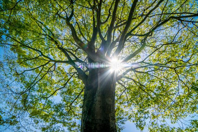 新緑が映える逆光の木の写真素材 [FYI01419583]
