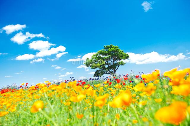 黄色いポピーと1本の樹木と青空の写真素材 [FYI01419613]