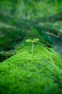 原生林に生える若葉の写真素材 [FYI01419651]