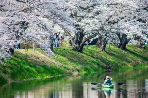 桜咲く小貝川をカヌーで移動する親子の写真素材 [FYI01419654]