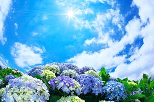 アジサイと青空と雲の写真素材 [FYI01419732]