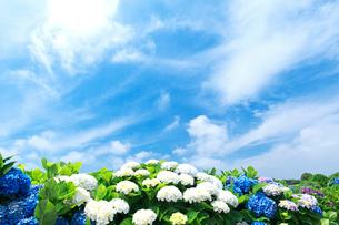 アジサイと青空と雲の写真素材 [FYI01419767]
