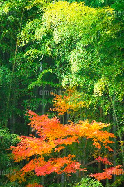 竹林とモミジの写真素材 [FYI01419790]