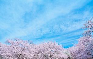 青空と雲と桜の写真素材 [FYI01419795]