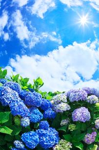 アジサイと青空と雲の写真素材 [FYI01419815]