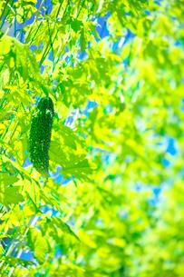 ゴーヤのカーテンと夏の陽射しの写真素材 [FYI01420082]