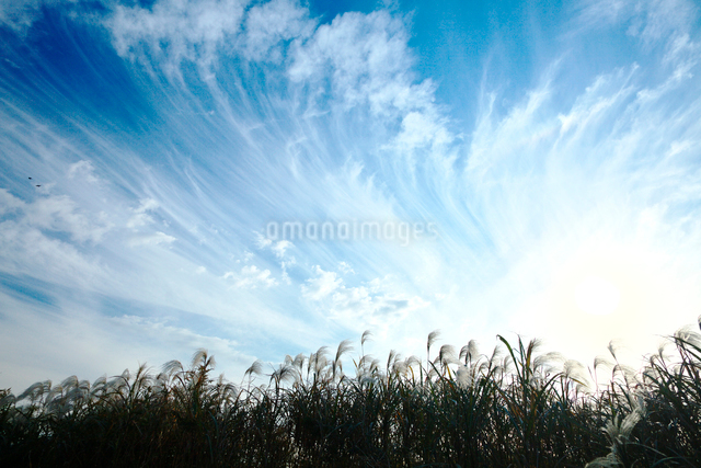 ススキと秋の空の写真素材 [FYI01420133]