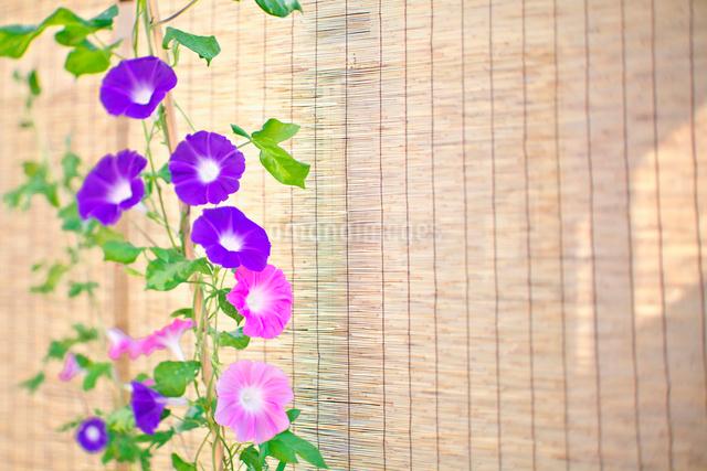 スダレと朝顔の写真素材 [FYI01420302]