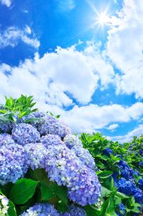 アジサイと青空と雲の写真素材 [FYI01420320]