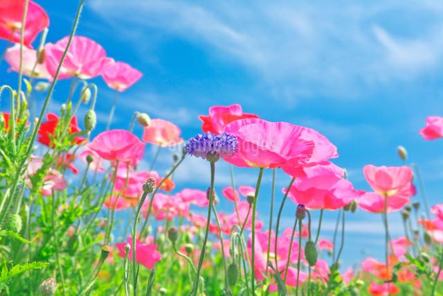 ピンクのポピーが咲く春の花畑と青空の写真素材 [FYI01420634]