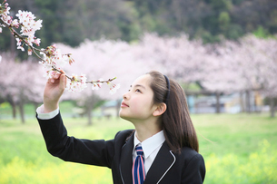桜の花の香りを嗅ぐ女子中学生の写真素材 [FYI01420772]