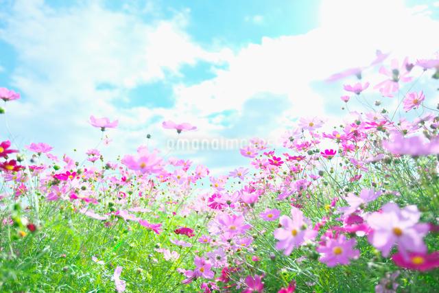 コスモス畑と青空の写真素材 [FYI01420787]