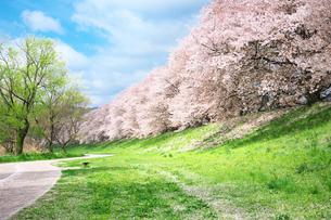 京都の桜並木と道の写真素材 [FYI01420897]