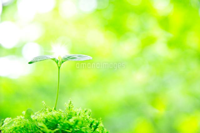 新緑と双葉の新芽の写真素材 [FYI01420907]