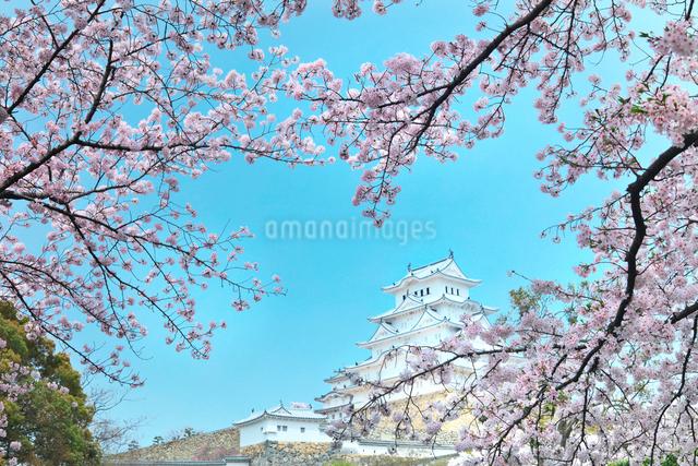 姫路城と桜の写真素材 [FYI01421213]