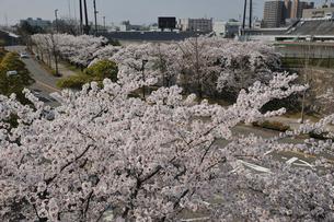 白山公園に咲く桜と陸上競技場の写真素材 [FYI01421305]