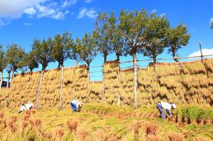 秋の夏井のハサ掛けと農作業の写真素材 [FYI01421664]