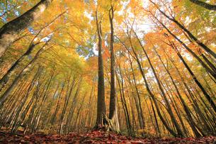 美人林のブナの紅葉の写真素材 [FYI01421889]
