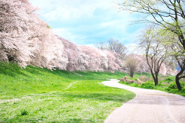 京都の桜並木と道の写真素材 [FYI01422083]
