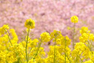 河津桜と菜の花の写真素材 [FYI01422432]