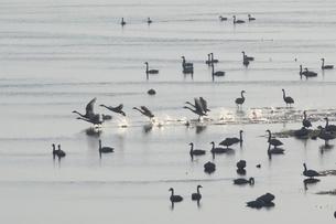 瓢湖を泳ぐ白鳥の群れの写真素材 [FYI01422447]