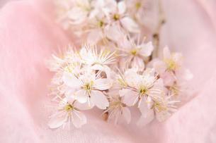サクランボの花の写真素材 [FYI01422481]