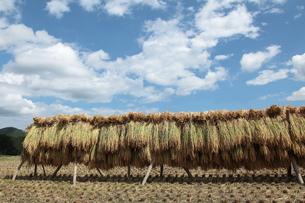 干した稲穂と青空と雲の写真素材 [FYI01422586]