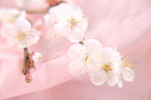 梅の花の写真素材 [FYI01422657]