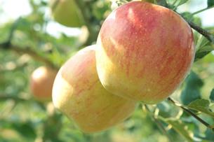 樹になったリンゴの写真素材 [FYI01422714]