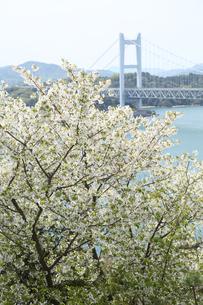 瀬戸大橋と桜の写真素材 [FYI01422862]